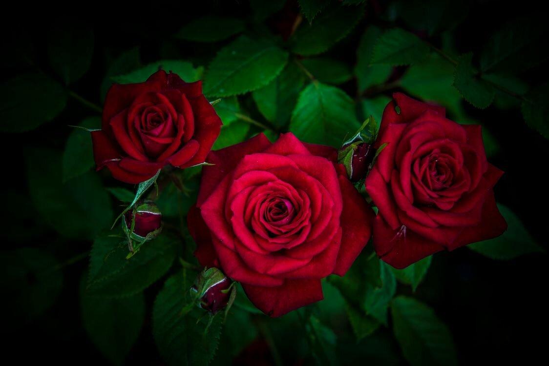 Четыре розы картинка
