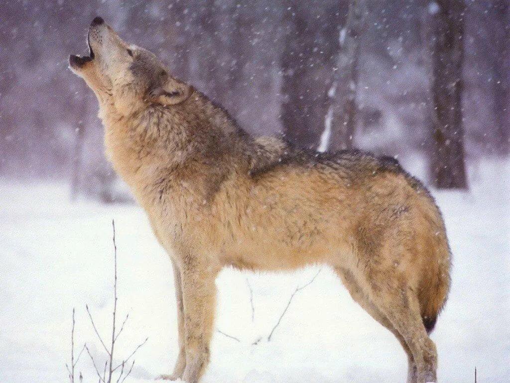 фото волка во весь рост картинки что именно погубил