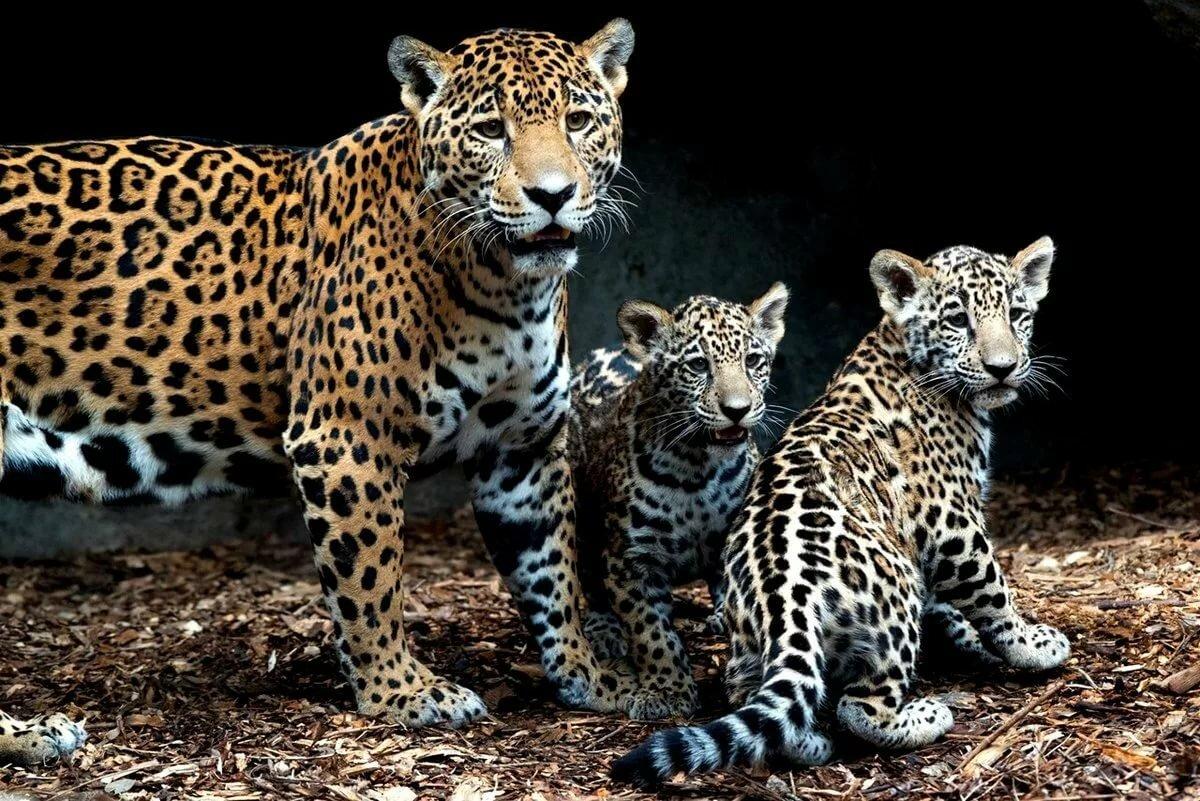берега леопард самка картинки всегда