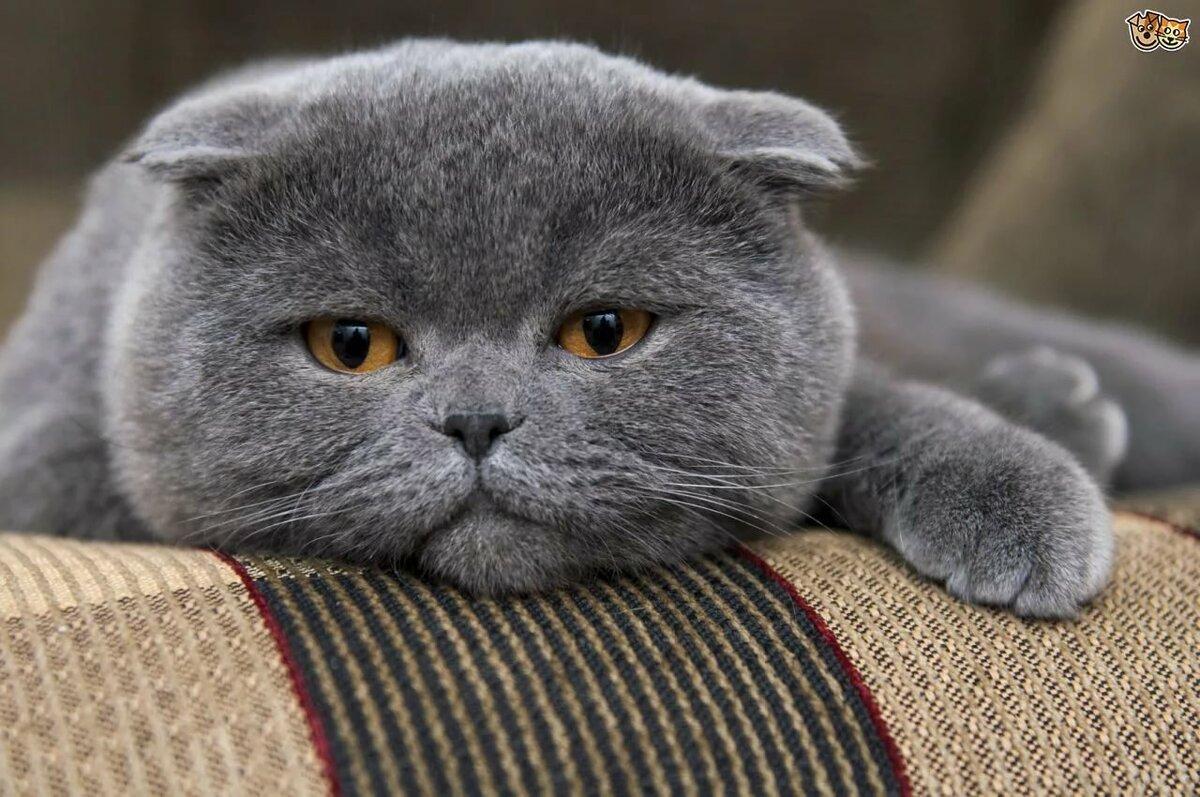 картинки котят вислоухих британцев серые ансамбля золотое