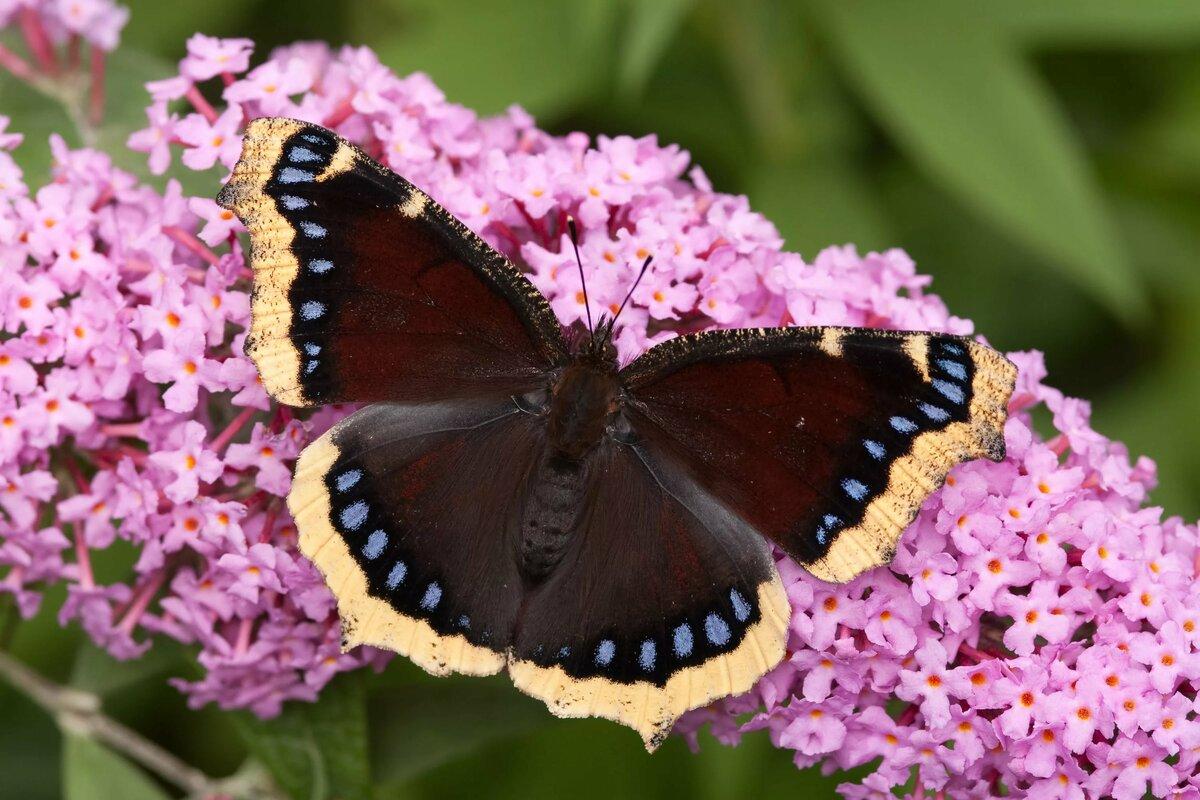 Траурница бабочка картинка
