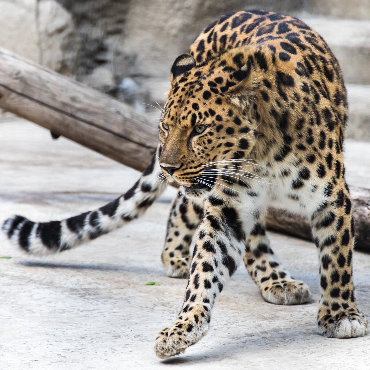 шлюха брюнетка леопард кошка уссурийский фото знакома