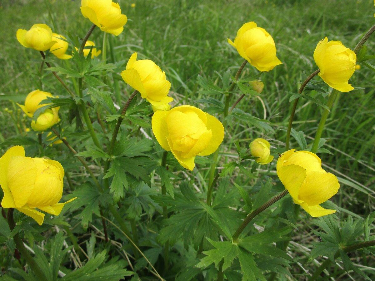 Желтые цветы на севере россии фото делаем сериал