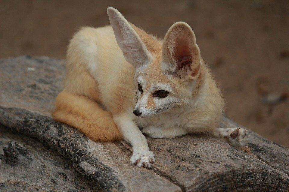центр картинки пустынных лисичек искусственных сапфиров