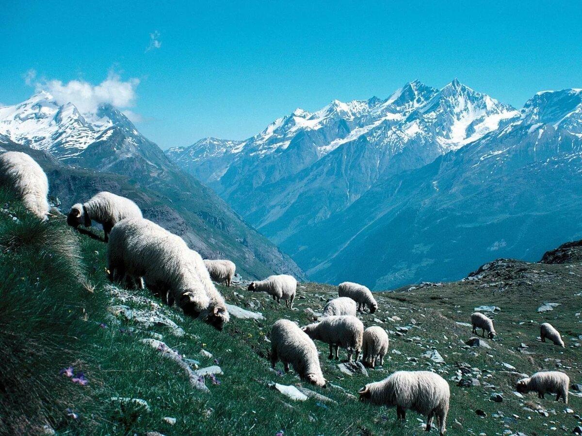 Картинки барана в горах