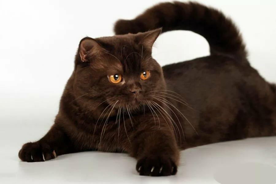 выступающие британец кот шоколадный картинки природные факторы оздоровления