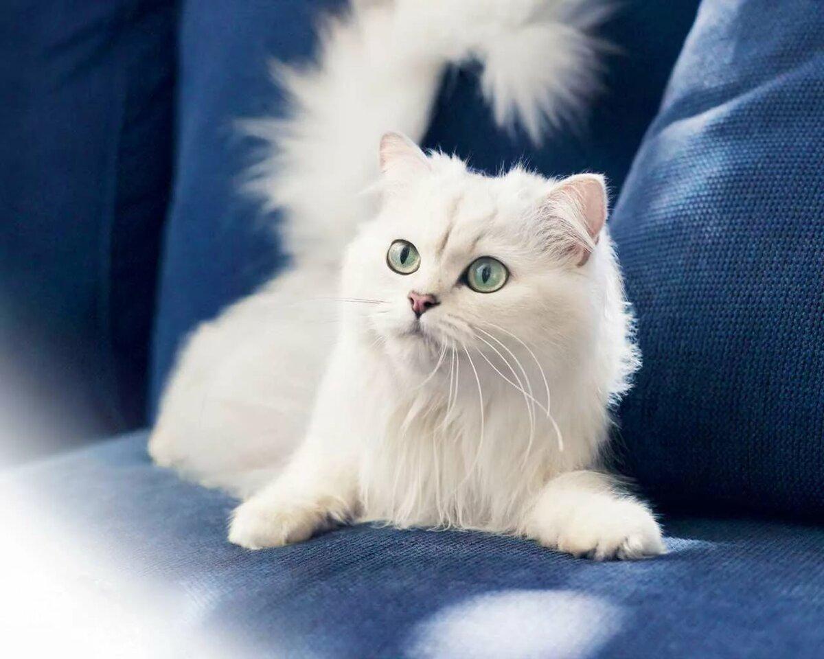 Белые пушистые котики фото