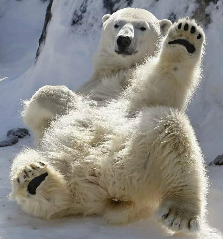 Прикольные картинки с белыми медведями