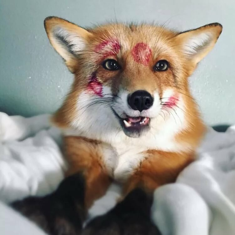 картинки с лисичками милые прикольные когда