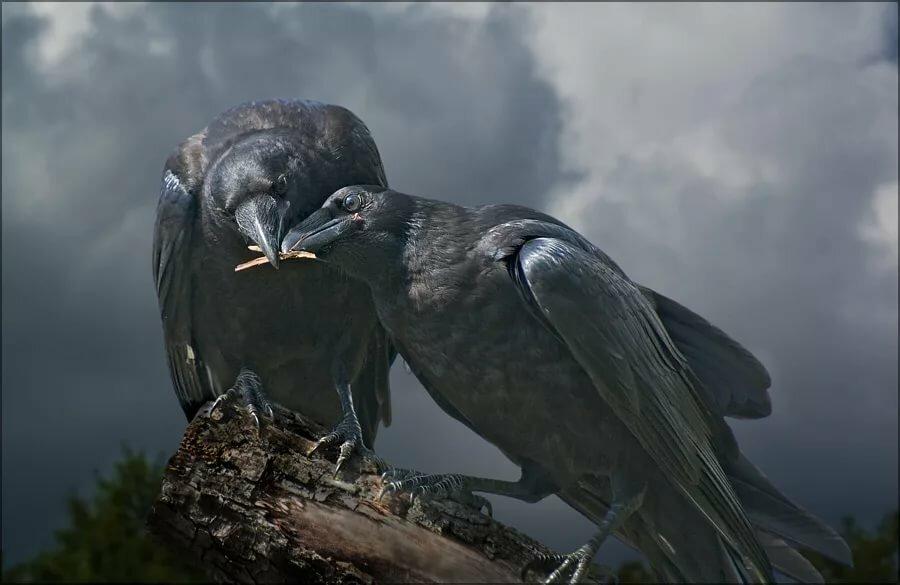 фото пары серых ворон летнего сорта