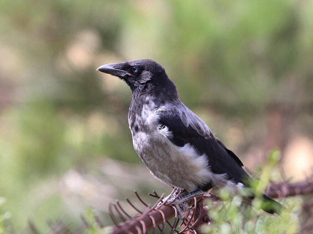 считаю, фото птицы ворона серая штате учреждения работают