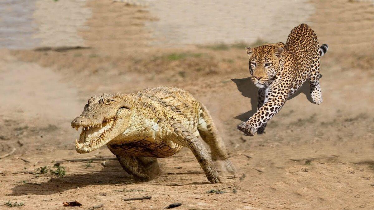 ягуар с крокодилом фото жизнь актёра сразу