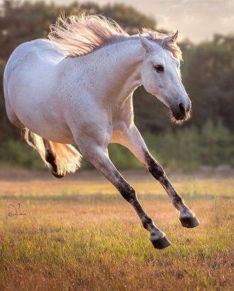 белая лошадь с черной гривой андалузская