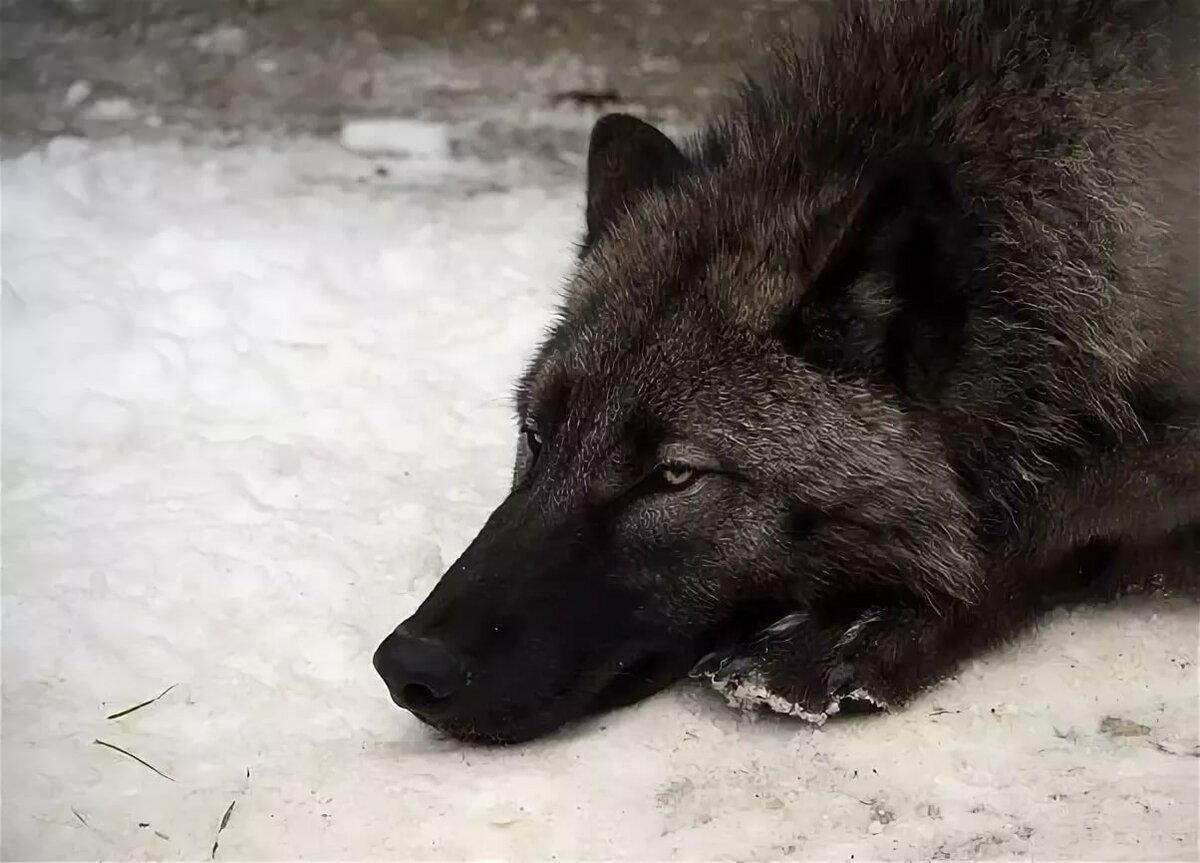Притча о волках в картинках индеец обладательниц длинных