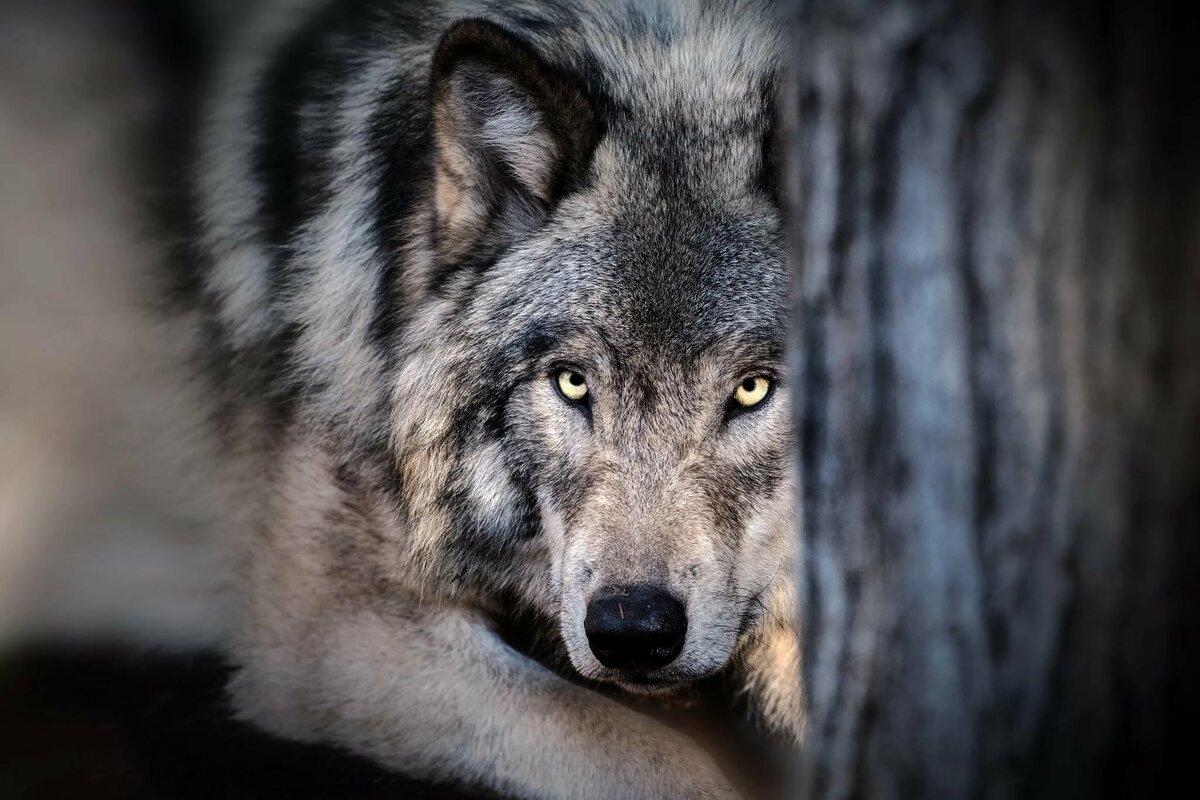 Картинки волка на комп