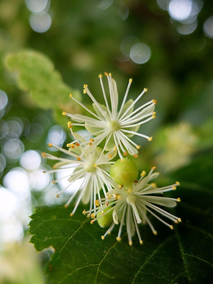 Картинка цветение липы