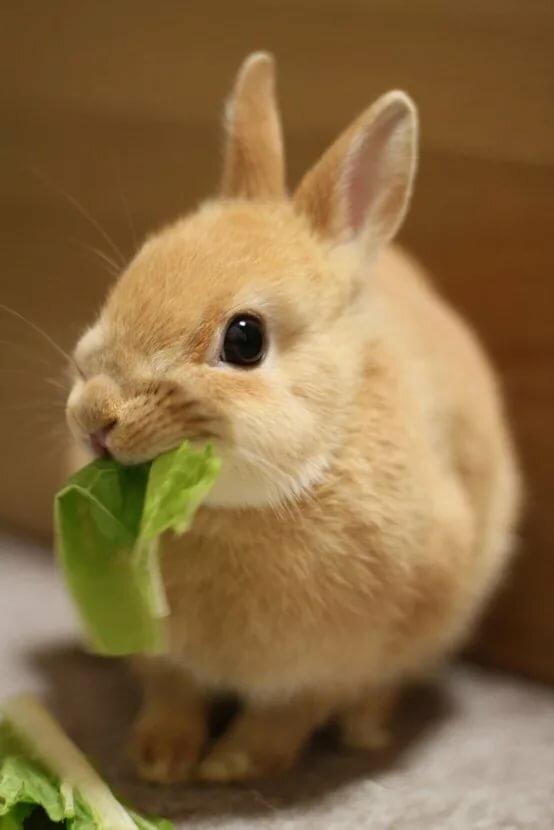 картинка кролик капусту есть пальто всегда