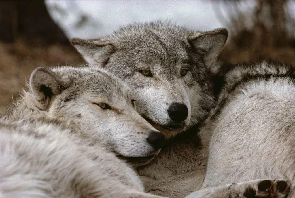 Все картинки влюбленных волков и волчица