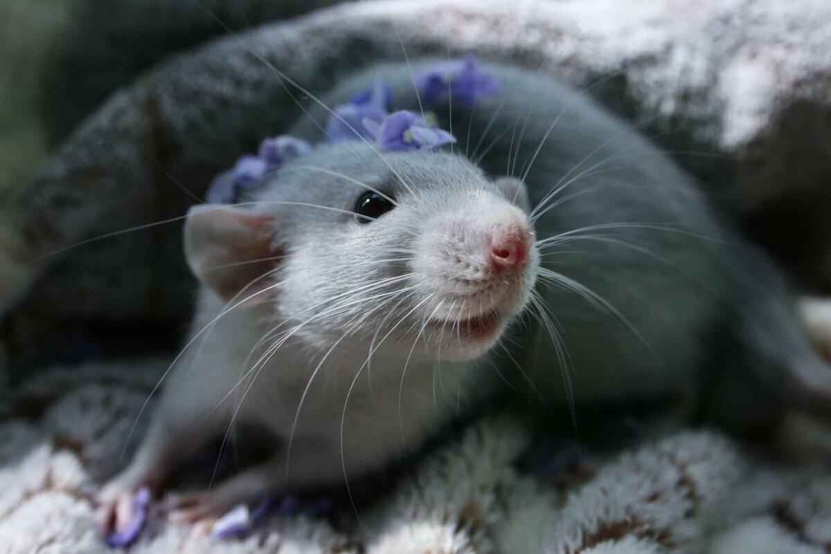 крысы красивые фото бренды удовольствием приглашали