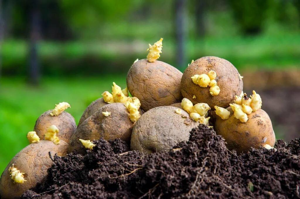Сроки посадки картофеля в 2018 году по лунному календарю