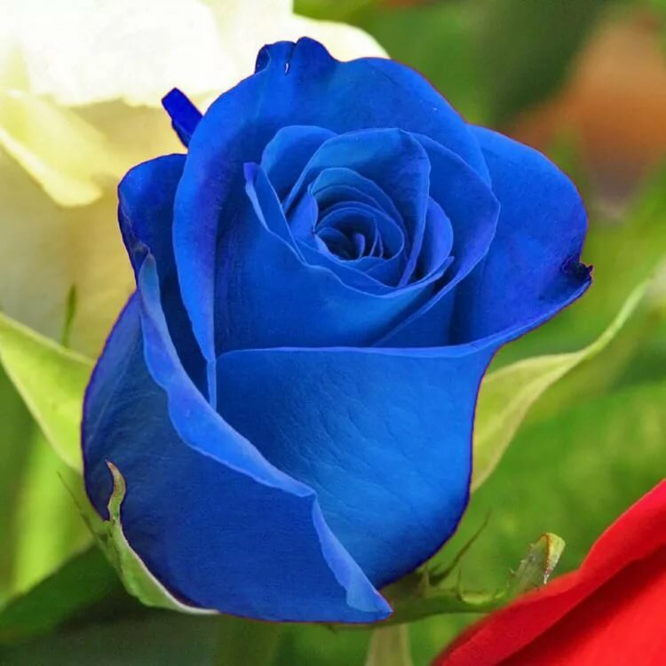 Голубая роза фото картинки