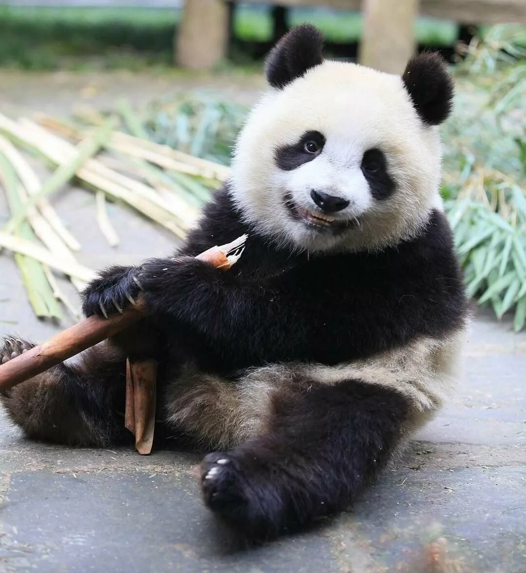 Веселые картинки с пандами, днем рождения красивые