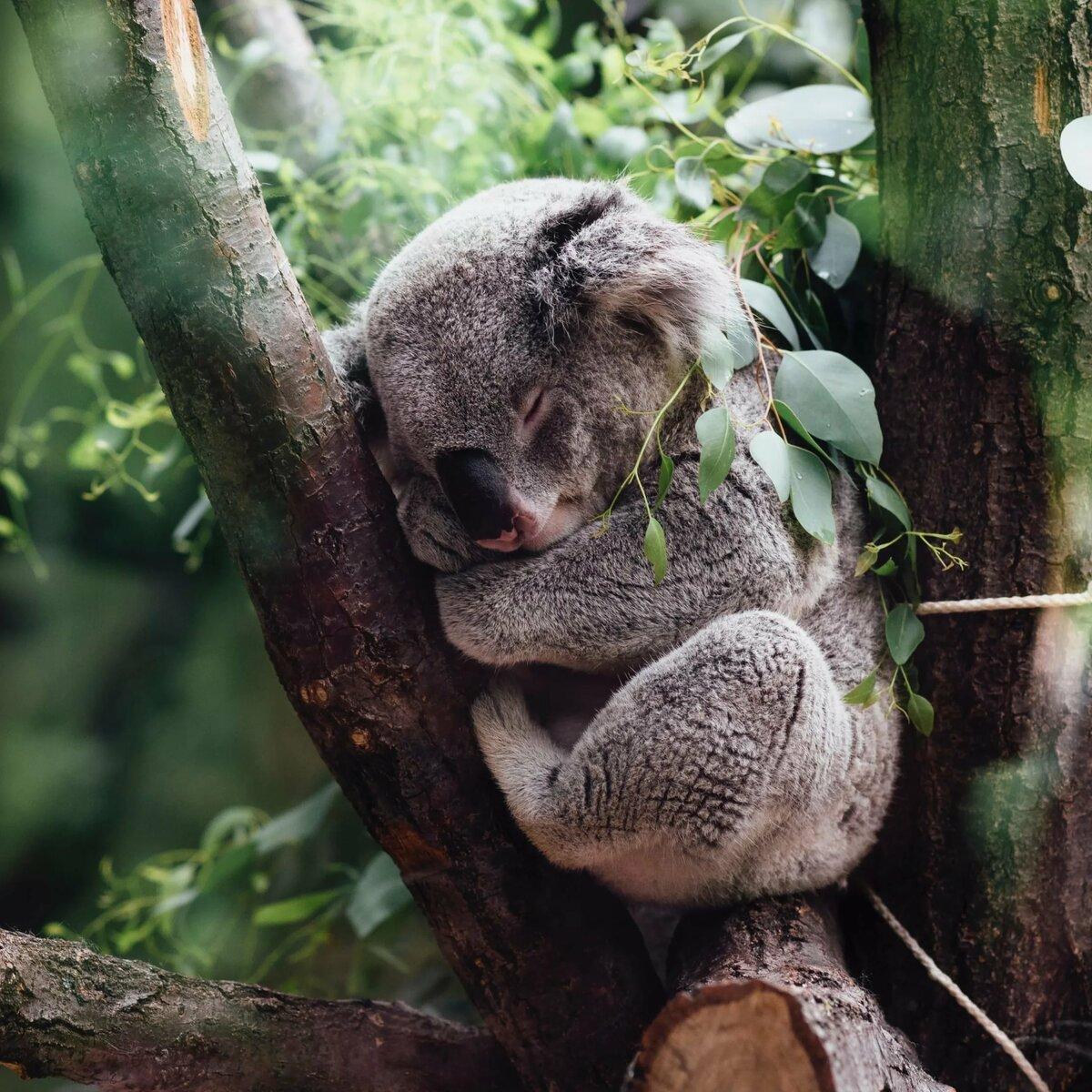 афроевропеец, как коала на бамбуке картинки дополнительные съёмные