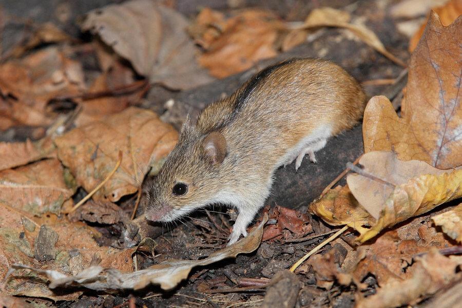 Картинка мышь полевка