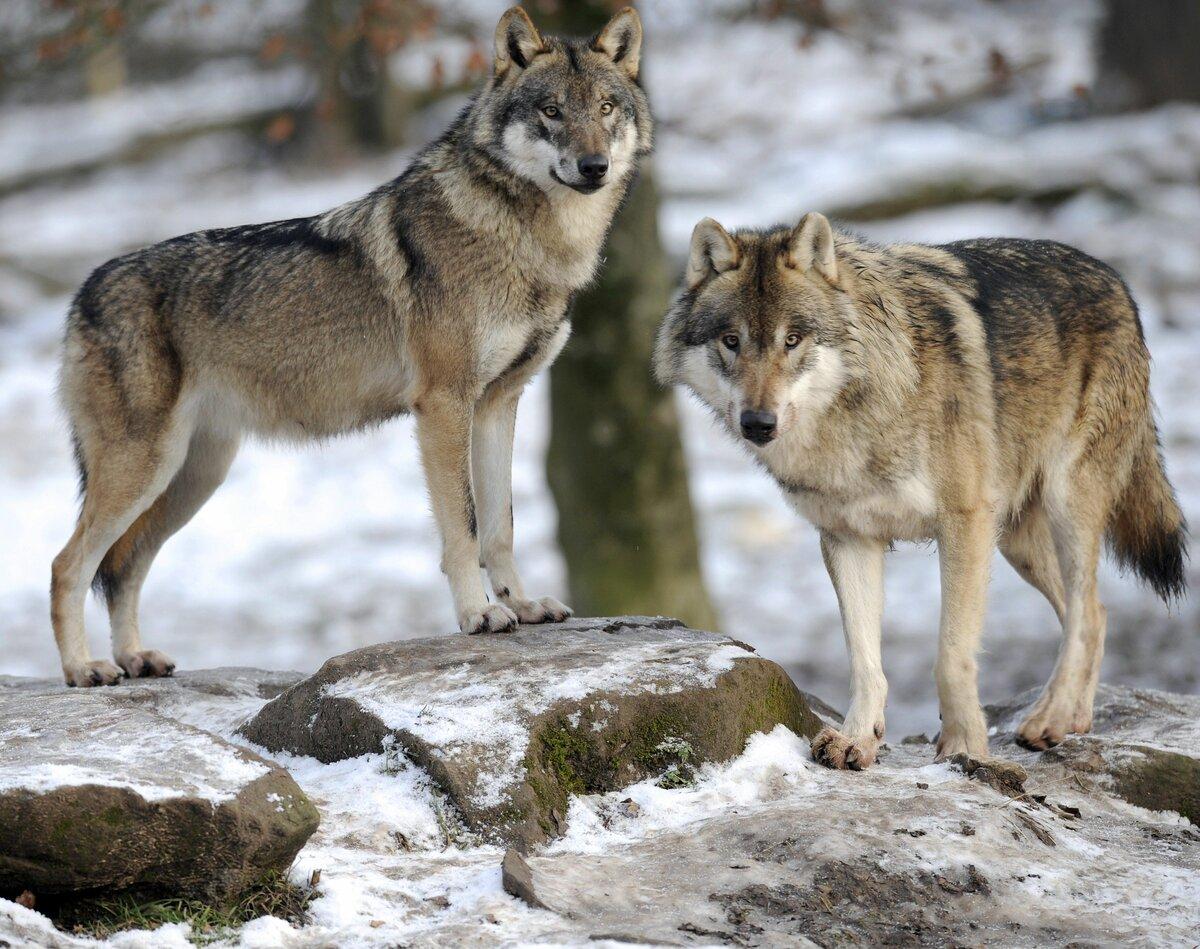 крайней шикарные фото русских волков причиной