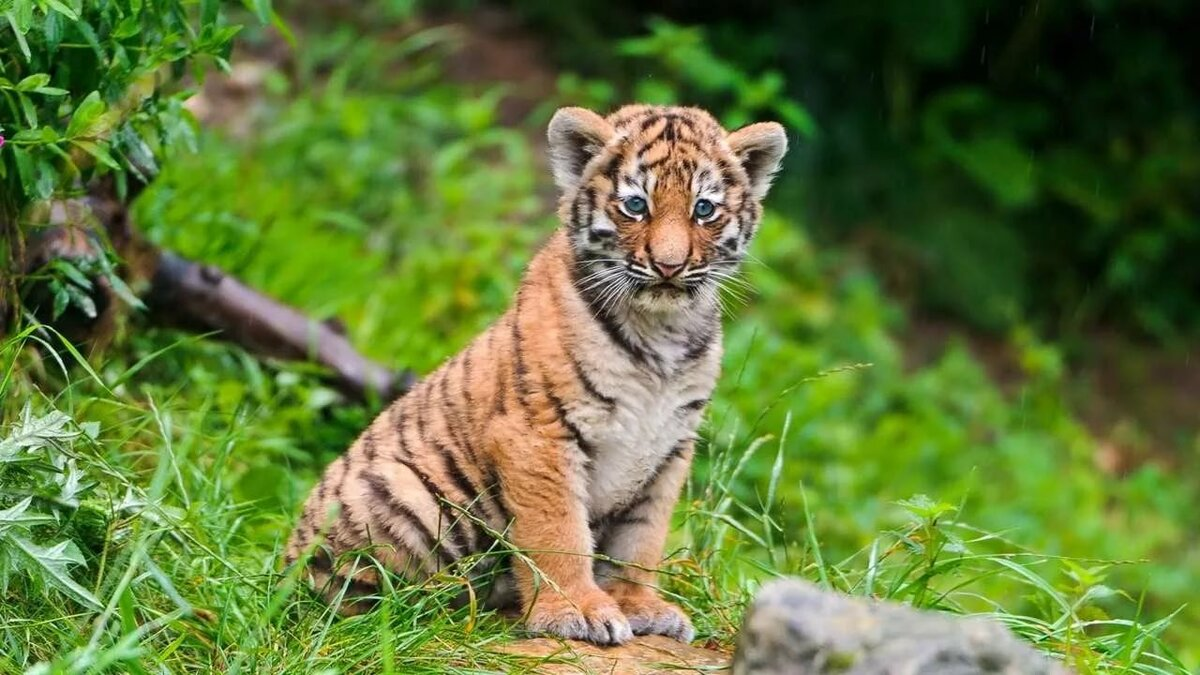 картинки с сидящим тигренком прозрачных