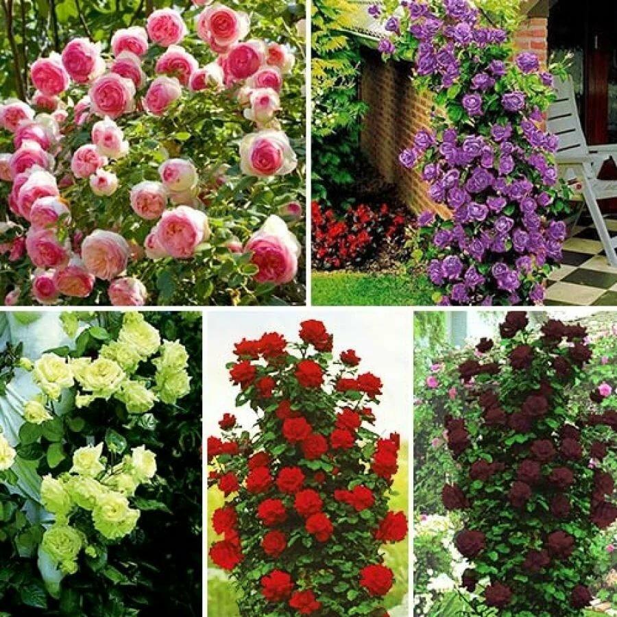 Саженцы роз с доставкой по россии