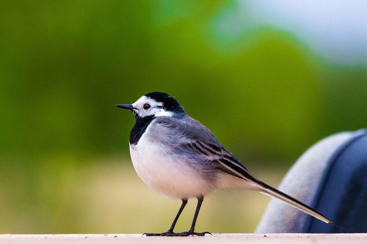 стабилизатор картинка птиц трясогузка вывоза леса используют