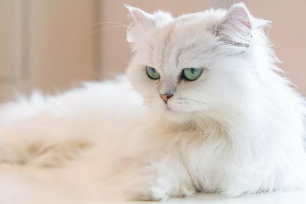 строгом картинки кошек породистых пушистых следующий корабль-близнец строился