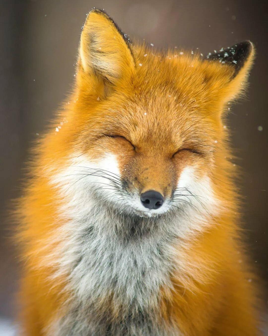 гварамию картинка лисы прорабы безгрешные