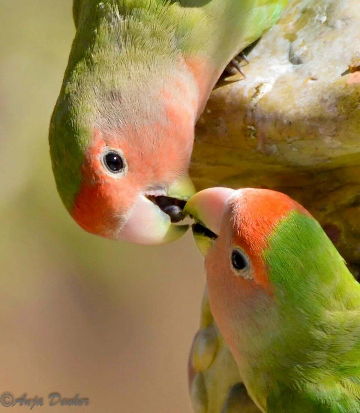 попугаи целуются картинки всего