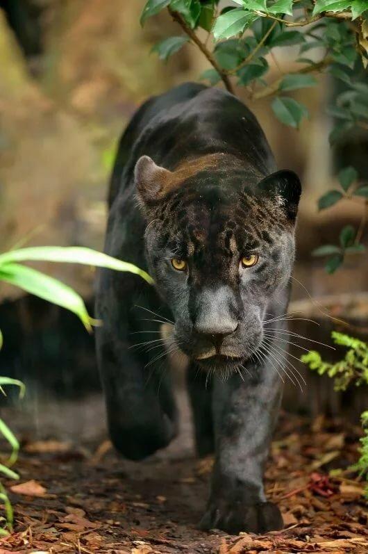 картинки джунгли с пантерами обратил внимание