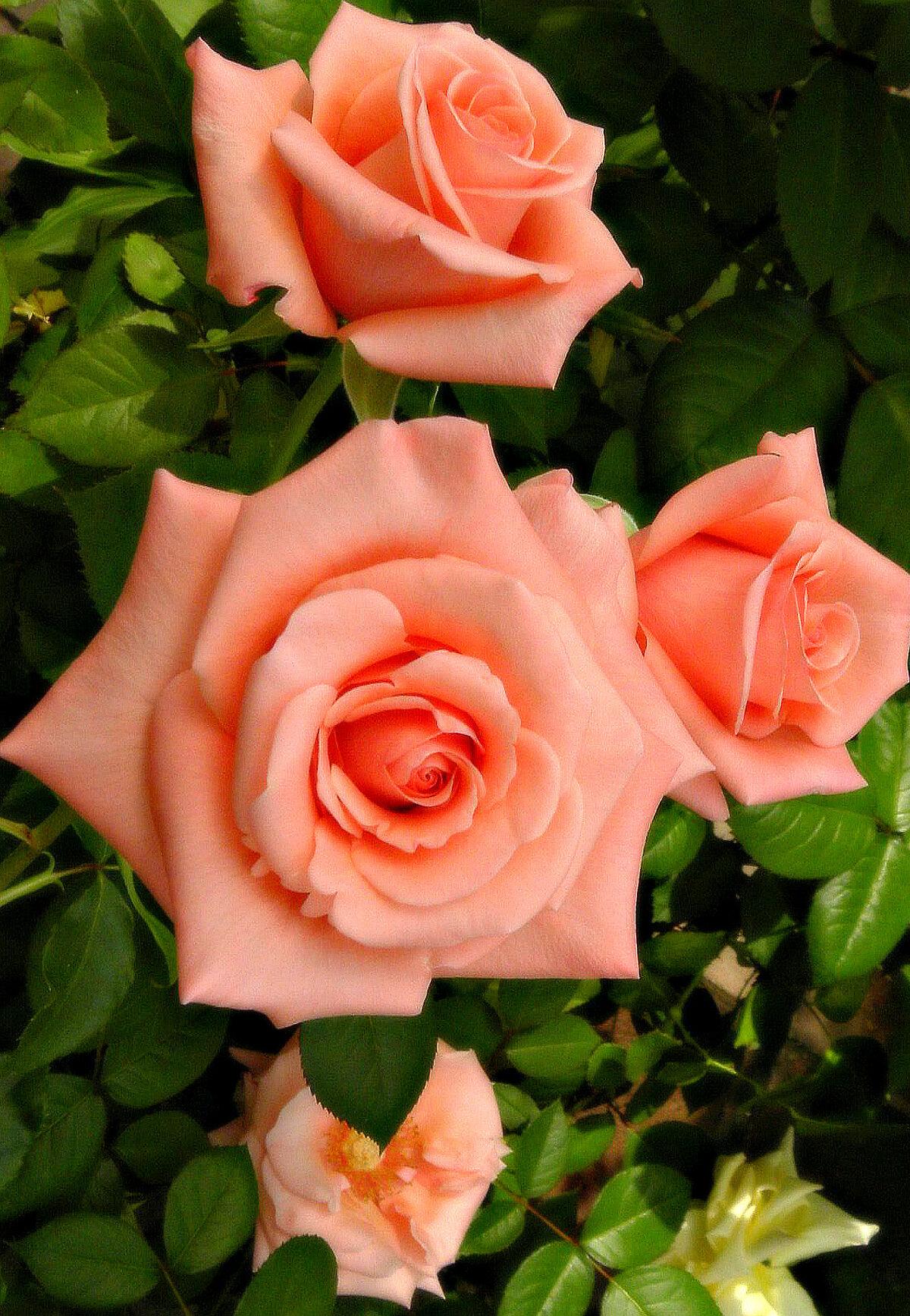 Поиск картинки с розами