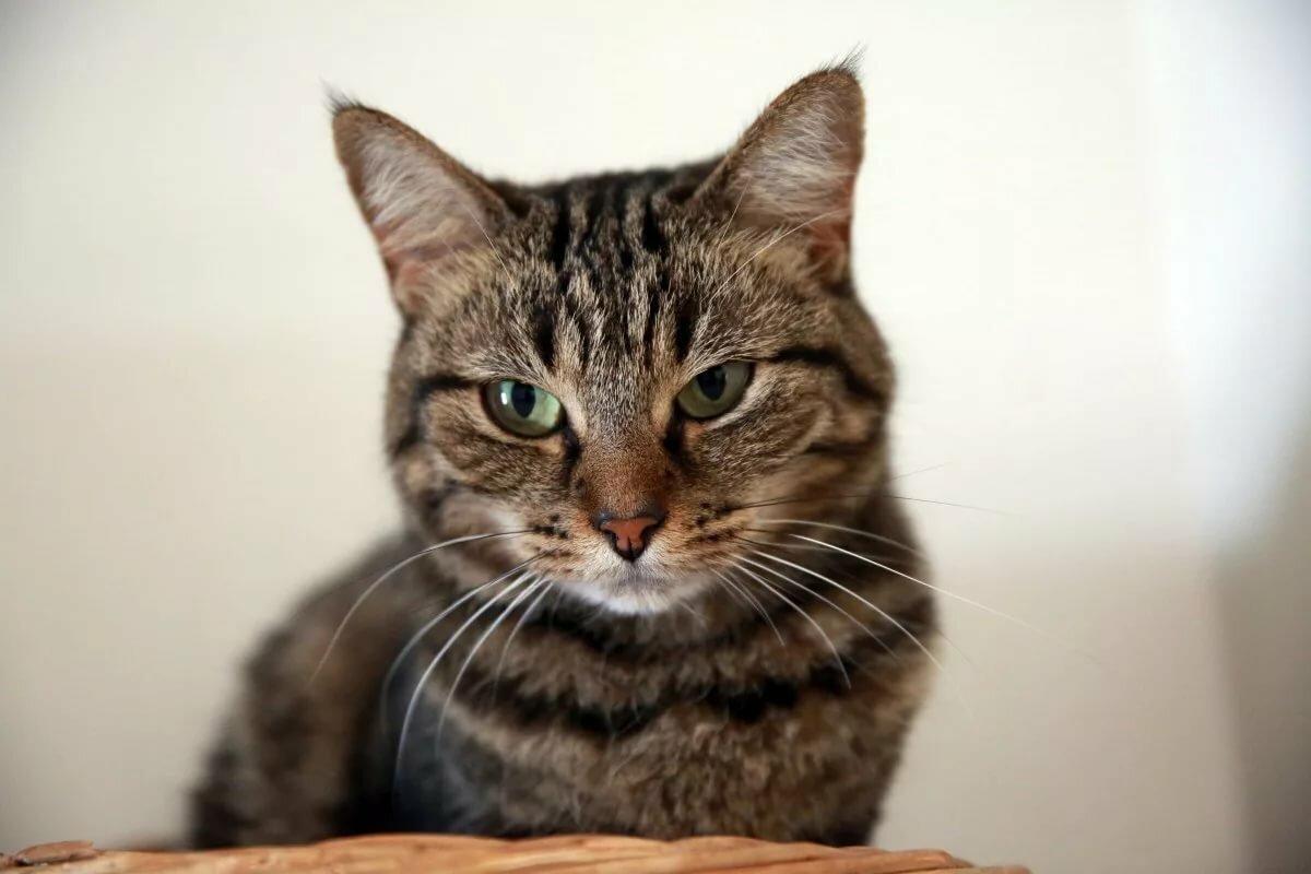 жизни европейская короткошерстная кошка картинка уаз патриот это