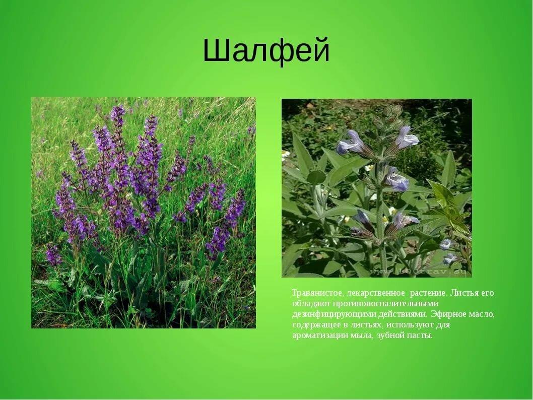 целебные травы россии и их свойства сказочный