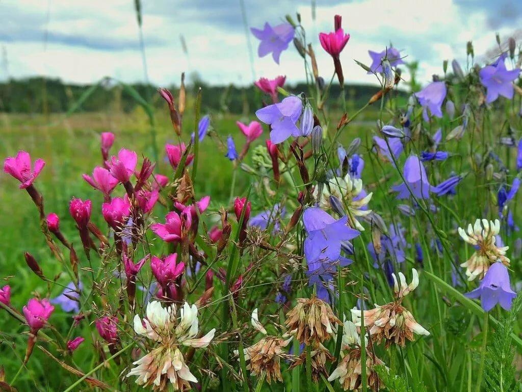 нарисовать плинтус луговые травы краснодарского края фото и названия представлено фото