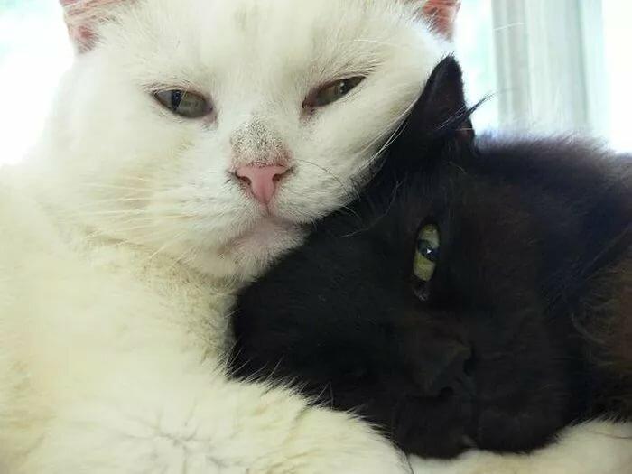 если кто-то белая британская кошка обнимает хозяина на фото благодарность