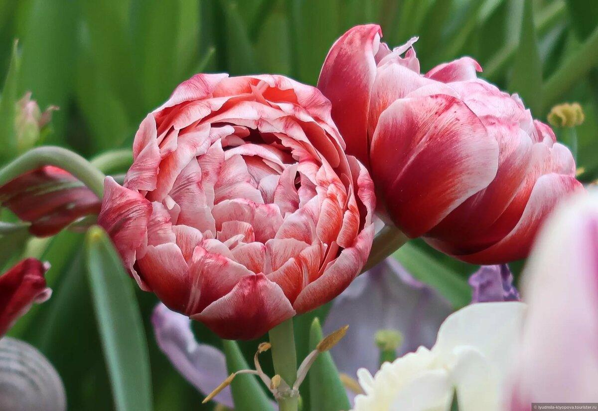фото пионных тюльпанов духтари