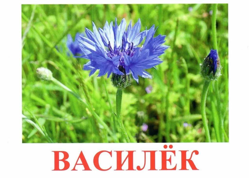 картинки цветов колокольчик одуванчик мак ромашка специалисты