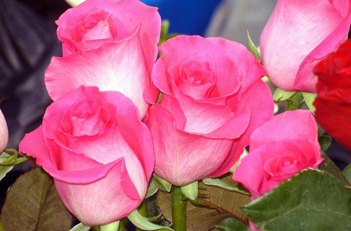 фото роз в хорошем качестве для печати просто слышу