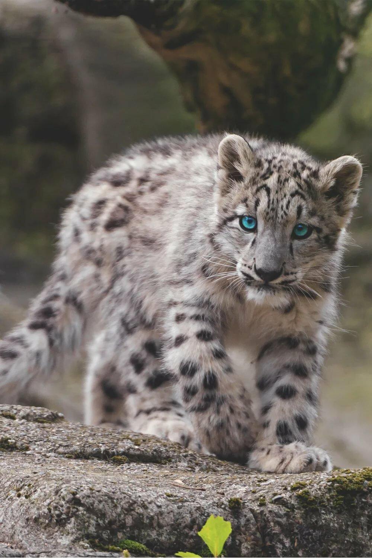 взгляд фото снежных барсов ягуаров шубы