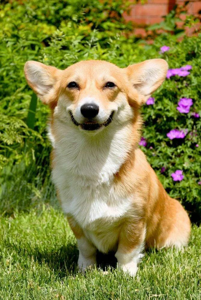 Картинки породы собак корги, смешные