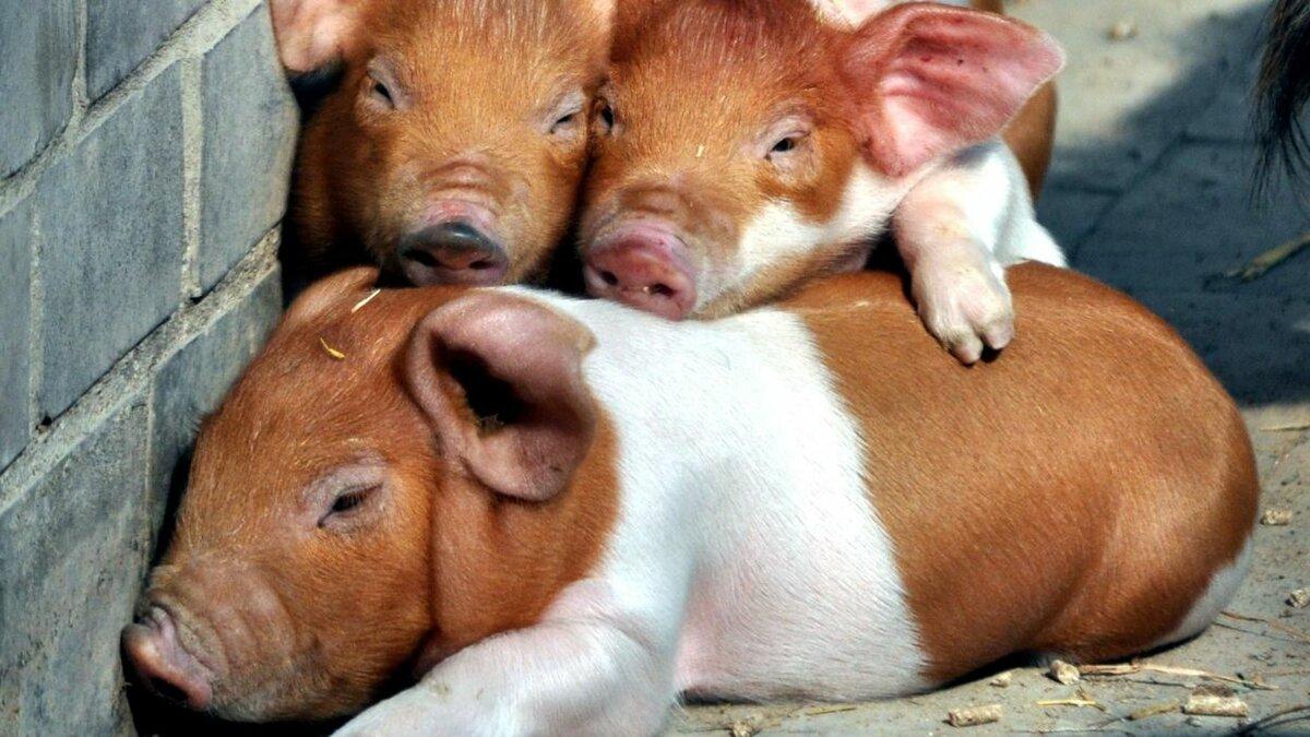 фотографии фото какого цвета бывают свинья понравившееся