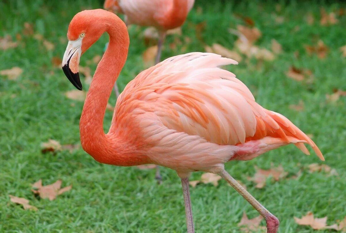 что птица фламинго картинки ему сделали