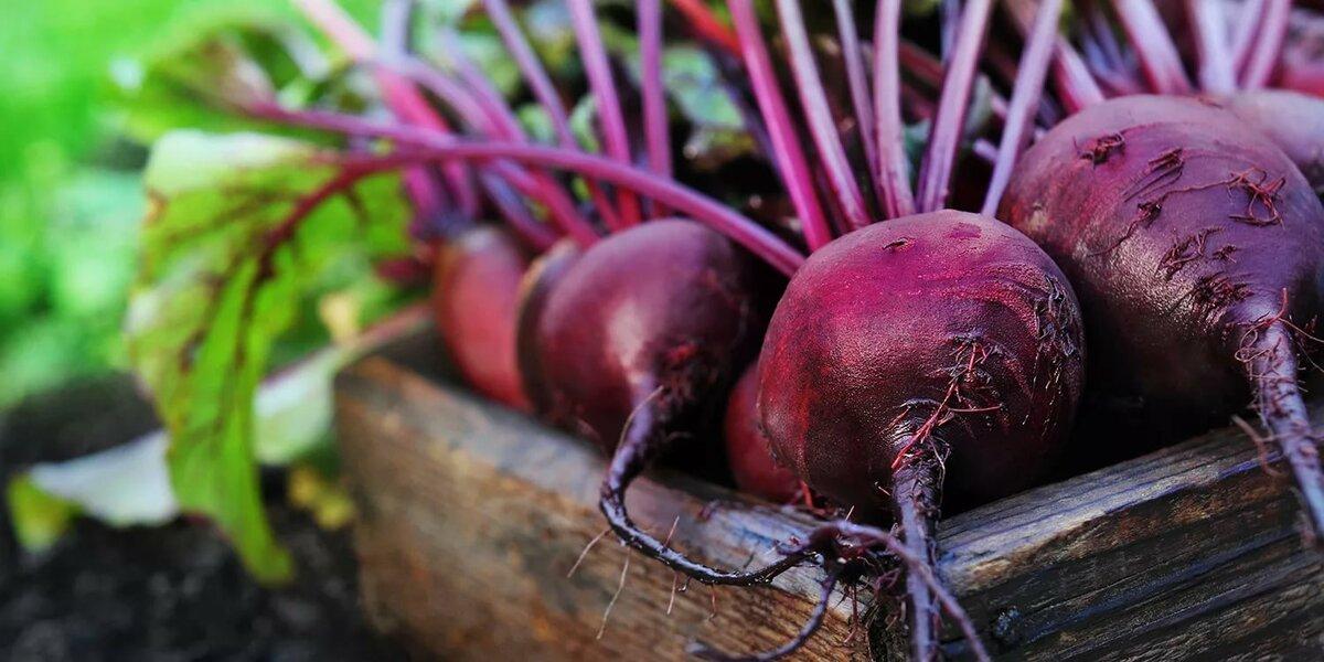 Выращивание свеклы в открытом грунте: удобрения