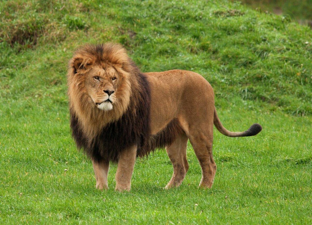Африканские львы фото